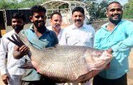 उजनीत सापडला ४२ किलोचा कटला मासा