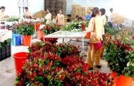 मावळातील गुलाब निघाला परदेशात; 'व्हॅलेंटाइन डे'साठी वाढती मागणी