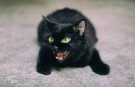 मांजरांच्या ओरडण्याचा त्रास होतोयं.. 'सारथी' हेल्पलाईनवर तक्रारी..!